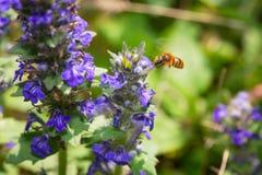 Die Biene im Flug, die Blütenstaub von einer blauen Blume sammelt Stockfoto