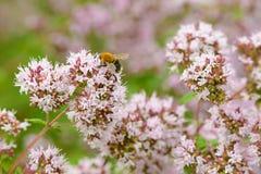 Die Biene sammelt Blütenstaub Lizenzfreies Stockbild