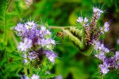 Die Biene sammelt Blütenstaub von den Blumen lizenzfreies stockbild