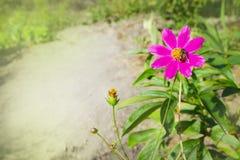 Die Biene sammelt Nektar auf einer rosa Blume Lizenzfreie Stockfotos
