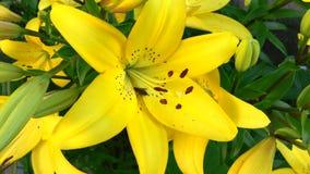 Die Biene sitzt auf einer gelben Lilie stock footage