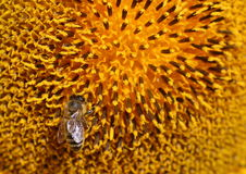 Die Biene sitzt auf heller Sonnenblume und trinkendem Nektar von ihm herein Lizenzfreies Stockbild
