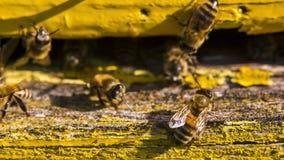 Die Biene wäscht sich am Eingang zum Bienenstock stock footage