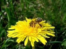 Die Biene wurde im Blütenstaub der sonnige Löwenzahn bedeckt stockfoto