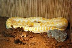 Die birmanische Pythonschlange stockfotografie