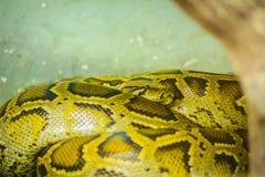 Die birmanische Pythonschlange (Pythonschlange bivittatus) ist eins der fünf larges lizenzfreies stockbild