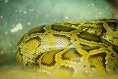 Die birmanische Pythonschlange (Pythonschlange bivittatus) ist eins der fünf larges lizenzfreie stockbilder