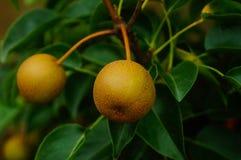 Die Birne hängt am Birnenbaum, nicht schon reif Lizenzfreie Stockfotos
