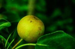 Die Birne hängt am Birnenbaum, nicht schon reif Lizenzfreie Stockbilder
