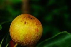 Die Birne hängt am Birnenbaum, nicht schon reif Stockfoto