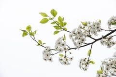 Die Birne in voller Blüte Stockfotografie