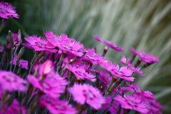 Die blühende Gartennelke auf einem grauen Hintergrund eines Grases lizenzfreie stockfotografie