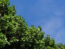 Die Blätter auf dem Hintergrund des blauen Himmels Stockfoto