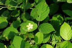 Die Blätter der Brombeere mit einem Druck einer Blume auf ihnen Stockbilder