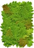Die Blätter der Eiche Stockfotografie