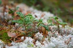 Die Blätter der Herbstpreiselbeere im weißen Moos Lizenzfreie Stockfotografie