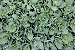 Die Blätter des Blumenkohls werden Foto von oben gemacht lizenzfreie stockfotografie