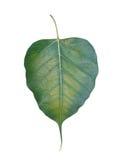 Die Blätter des Bodhi Lizenzfreie Stockfotos