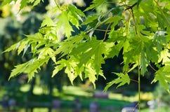 Die Blätter des japanischen Ahornholzes Lizenzfreies Stockbild