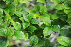 Die Blätter des Kirschfilzes lat Prunus tomentosa Lizenzfreie Stockbilder