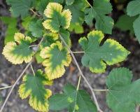 Die Blätter des Maulbeerbaums: Herbstfarbe stockbild