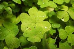 Die Blätter im Tau Lizenzfreie Stockfotografie