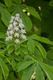 Die Blätter und die Blume der Rosskastanie (Lat Aesculus) Lizenzfreie Stockbilder