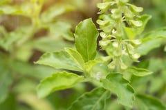 Die Blätter und die Blumen von Basil Close Up Stockfotografie