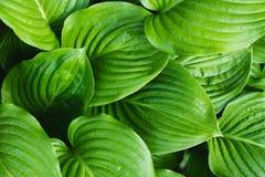 Die Blätter von Hosta Stockbilder