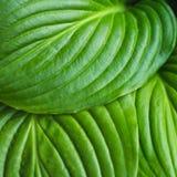 Die Blätter von Hosta Lizenzfreie Stockfotos