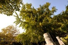Die Blätter von maidenhair Baum Stockfotos
