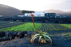 Die blühende Aloe Lizenzfreie Stockbilder