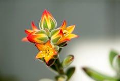 Die blühende Blume Lizenzfreie Stockbilder