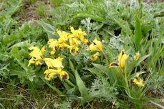 Die blühende dwarfish wild wachsende Iris Iris pumila L im Frühjahr Steppe Kalmückien Stockfoto