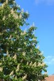 Die blühende Kastanie stadt Lizenzfreie Stockbilder
