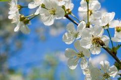 Die blühende Kirsche stockbilder