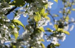 Die blühende Kirschniederlassung Lizenzfreie Stockfotos