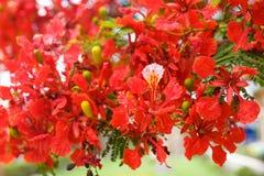 Die blühende rote Akazie Lizenzfreies Stockbild