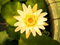 Die blühende schöne Lotosblume Stockbilder