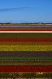 Die blühenden Holland-Tulpen Stockfoto