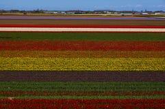 Die blühenden Holland-Tulpen Stockbilder