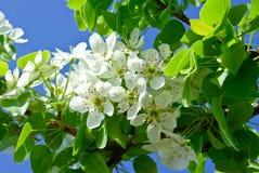 Die blühenden Niederlassungen von Bäumen im Wald auf dem Hintergrund des blauen Himmels Lizenzfreie Stockbilder
