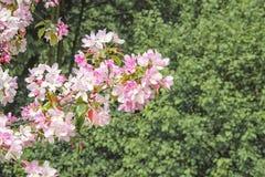 Die blühenden orientalische Kirschniederlassungen Stockbild