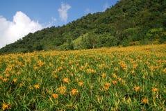 Die blühenden Tageslilien stockfotografie