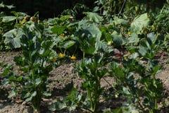 Die blühenden Zucchini und die Blätter auf dem Gartenflecken Stockfotografie