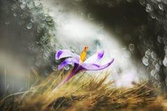 Die Blüte der ersten Frühlingsblumen des Safrans, Krokusse lizenzfreie stockfotos