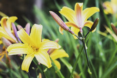 Die Blüte der Sommersonnenwende nur nachts stockbilder