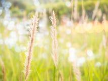 Die Blütenstaubstiele des Grases schaut zerbrechlich und schön stockbilder