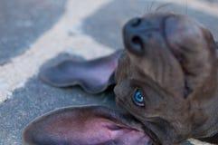 Die blaue Deutsche Dogge lizenzfreies stockfoto