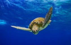 In die blaue, grüne Meeresschildkröte Stockfoto